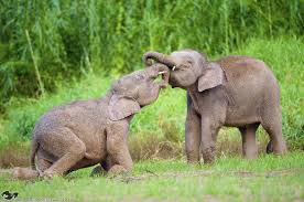 The Blind Men And The Elephant Analysis Gallery Mystery Of The Pygmy Elephants Of Borneo