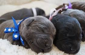 silvermist labrador retrievers silver charcoal chocolate yellow