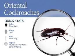 How To Get Rid Of Cockroaches In Kitchen Cabinets by Roaches Pest Control Parkersburg Marietta Athens