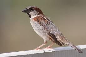 sparrow wikipedia