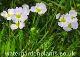 native water plants british native pond plants water garden plants