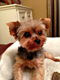 save a yorkie rescue petfinder foundation