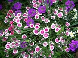 sweet william flowers sweetwilliam3 jpg