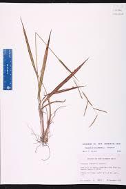 florida keys native plants paspalum blodgettii species page isb atlas of florida plants