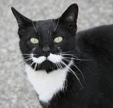 Mustache Cat Meme - 35 fancy cats with mustaches