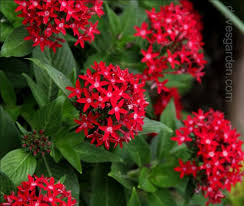 Pentas Flower View Picture Of Egyptian Star Cluster Star Flower Pentas