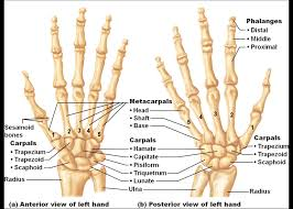 Human Anatomy Diagram Download Bones Of The Hand And Wrist Diagram Label Of The Bones In The