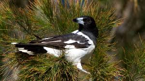pied butcherbirds virtuosos of the bird world croon like jazz