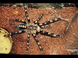top 10 most beautiful tarantulas