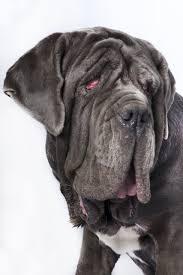 Ugliest Drooling Snoring Gassy U0027 Martha The Mastiff Wins World U0027s Ugliest
