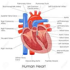 Anatomy Of Heart Valve Human Heart Anatomy Diagram Coordstudenti