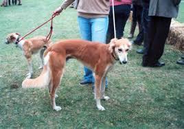belgian shepherd x greyhound archive
