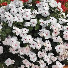 Vinca Flowers Cora Cascade Polka Dot Vinca Flower