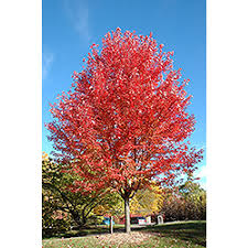 acer maple shade ornamental outdoor living