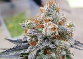 wedding cake kush birthday cake kush strain information cannafo marijuana