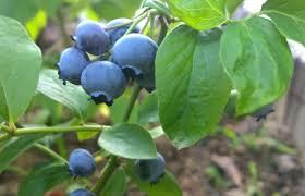 mirtillo in vaso guida alla coltivazione mirtillo nell orto o in vaso bricoliamo
