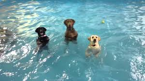 boxer dog pros and cons pros and cons of swimming vs non swimming dog breeds dogbrite