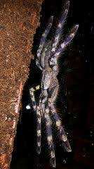poecilotheria smithi yellow backed ornamental tarantulas