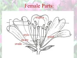 Style Flower Part - reproduction in flowering plants ppt video online download