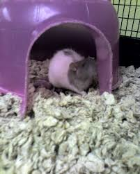 Best Bedding For Rats Creating The Perfect Rat Set Up Pethelpful