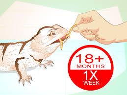 how to feed mealworms to a bearded dragon 9 steps with pictures