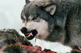 the for the wolves national geographic society