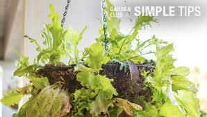 grow a hanging salad diy lettuce basket garden club