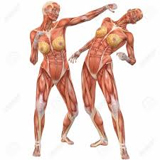 Anatomy Of Human Back Muscles Muscles Of The Female Human Body Female Muscle Anatomy Diagram