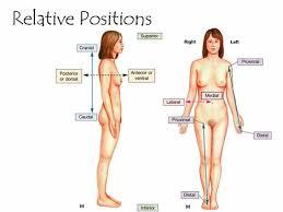 Human Anatomy Terminology Terminology Positions