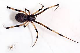 Black Widow Spiders Had A - citizen spider science tracking the decline of l a s black widows