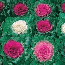 ornamental cabbage seeds ornamental brassica flower seed