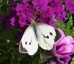 white butterflies science learning hub