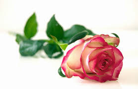 roses flowers pink and white flower free stock photo