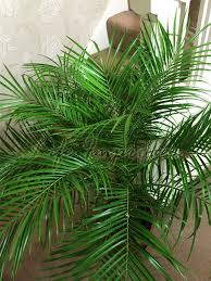 roebelenii pygmy date palm pot indoor outdoor tree