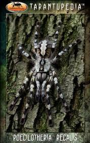 p vittata ghost ornamental tarantula wish list