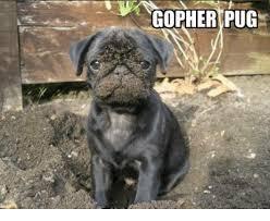 Gopher Meme - 25 best memes about gophers gophers memes