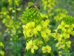 foraging wild shoots garden yellow rocket josh fecteau