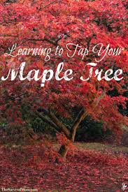 77 best maple syrup time images on pinterest maple syrup maple