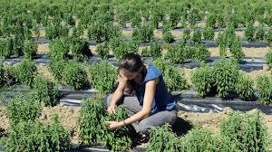 chambre agriculture montpellier stévia made in cherche industriels pour sortir de terre