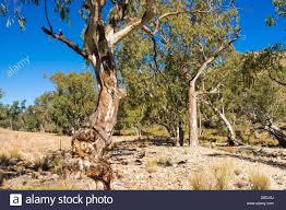 river red gum trees eucalyptus camaldulensis in the dry bed of