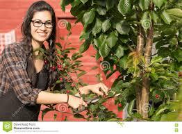 pretty woman smiling prunes cherry tree backyard fruit stock photo