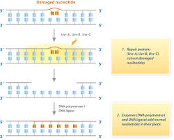 mutation effects ck 12 foundation
