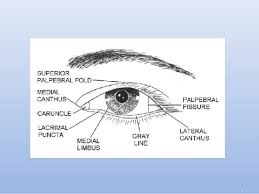 The Anatomy And Physiology Of The Eye Anatomy And Physiology Of The Eyelid
