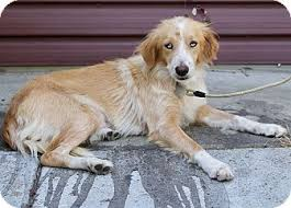 australian shepherd los angeles rescue cucumber adopted dog los angeles ca golden retriever