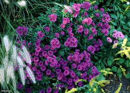 new england native plants new england asters hgtv