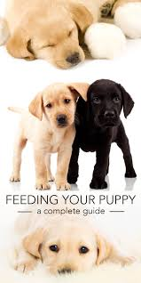 feeding your labrador puppy full guide and diet chart
