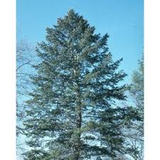 douglas fir tree blue douglas fir tree seeds tree seeds for sale