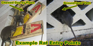 Squirrel In Basement by How To Get Rid Of Rats In The Basement Or Cellar
