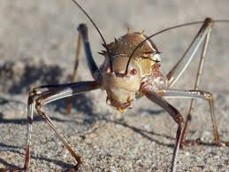 the creature feature 10 facts about the armoured bush cricket