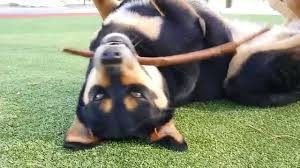 belgian shepherd x rottweiler rottweiler x german shepherd having fun youtube
